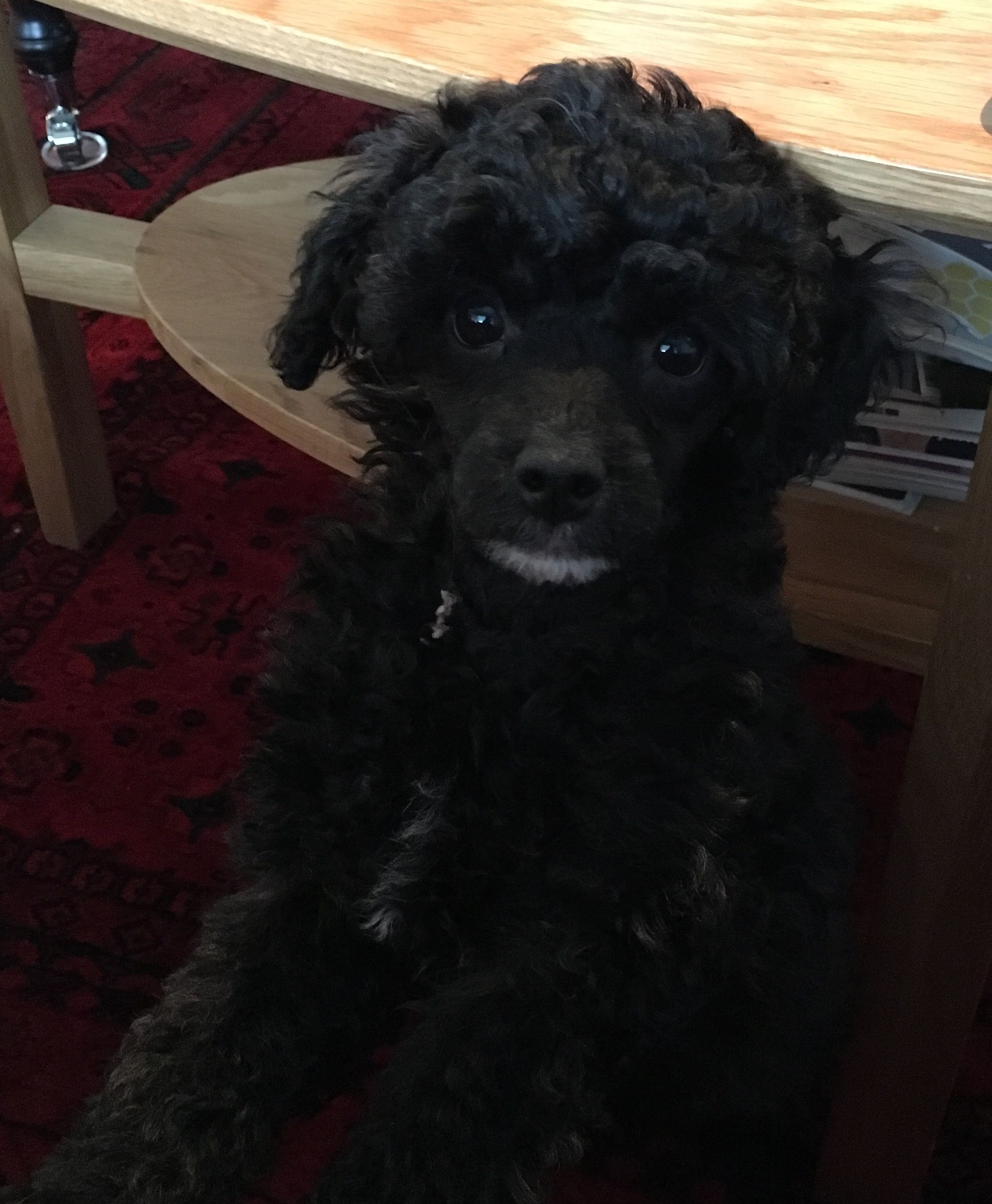 Charlie 3 Months Old Miniature Poodle Love Of My Life Miniature