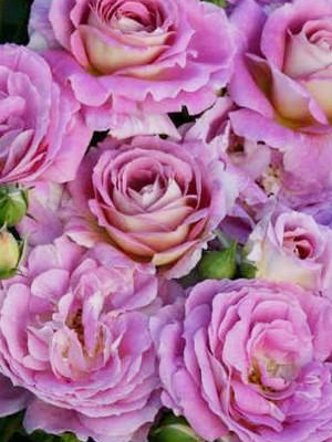Arctic Blue Rose Bare Root New Release Rooting Roses Rose Amazing Flowers