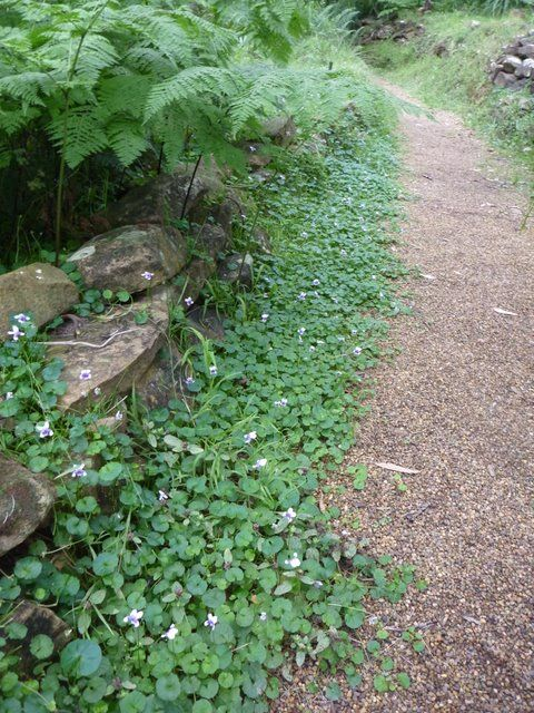 viola hederacea ground cover - Google Search | Gardening | Pinterest ...