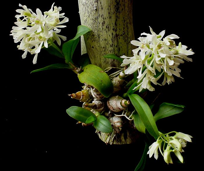 Dendrobium Species Types Of Orchids Orchids Dendrobium Nobile