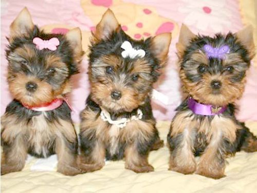 Yorkie Puppies Black Golden Baby Doll Teacup Yorkie