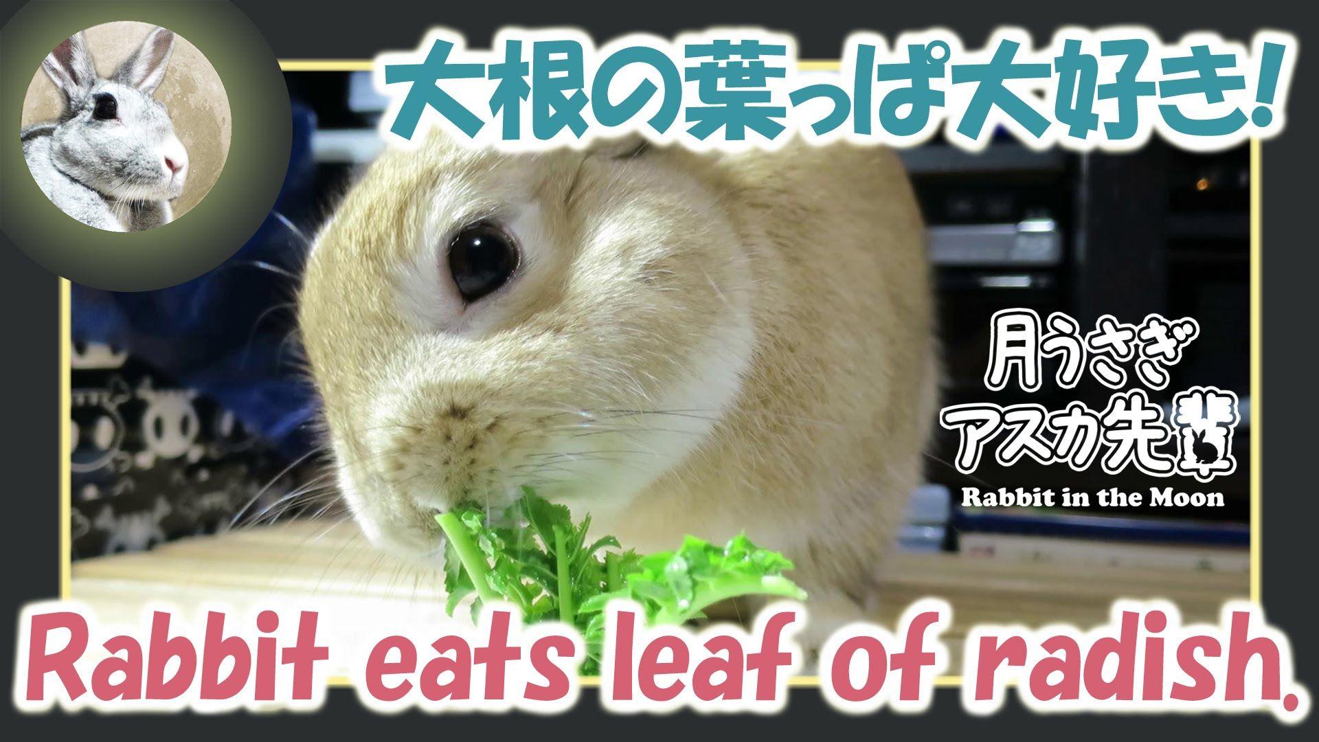 大根の葉っぱ大好き!【ウサギのだいだい 】 Rabbit eats leaf of radish. 2016年1月9日