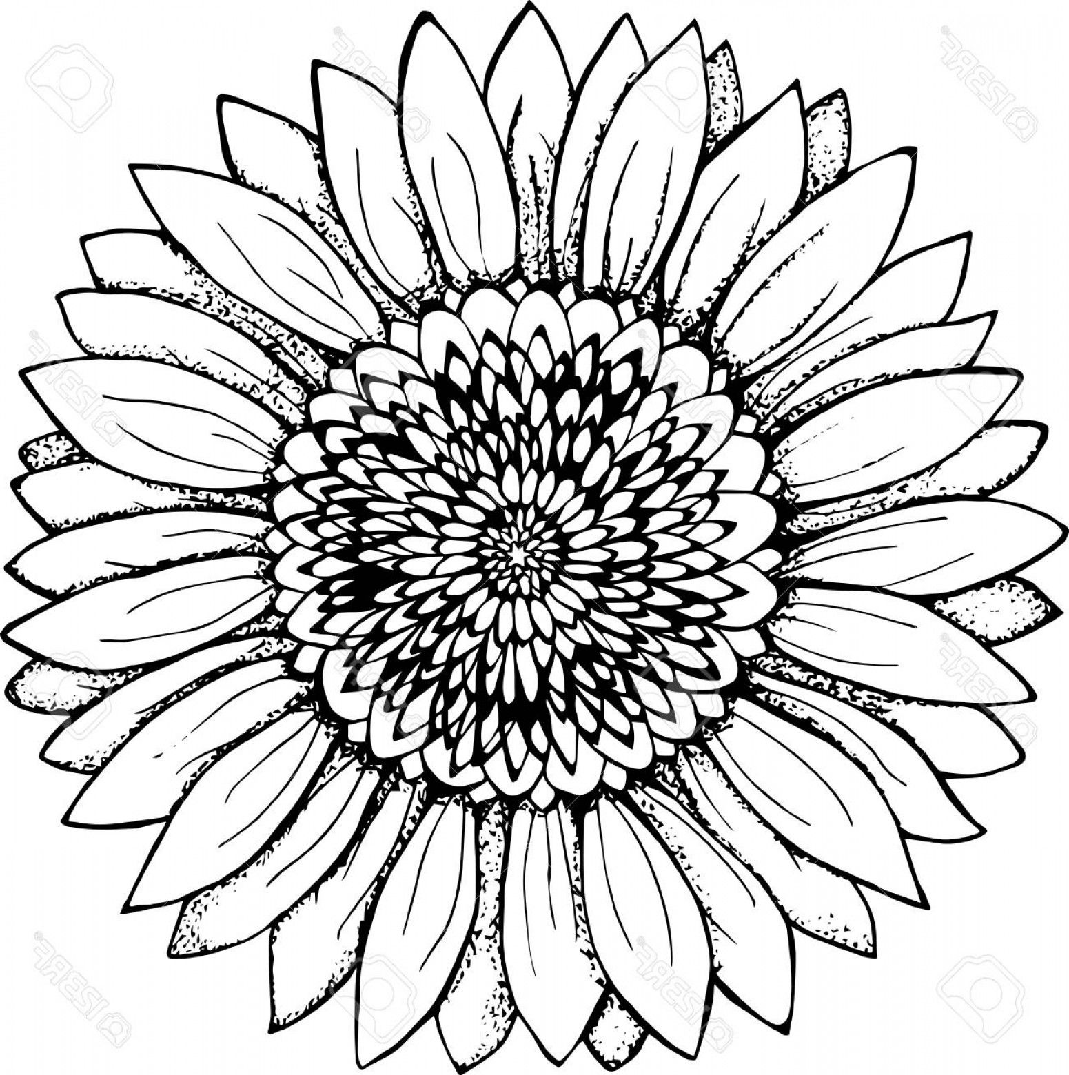 Drawn Sunflower Outline 21 1551 X 1560 Sunflower Drawing Sunflower Black And White Flower Illustration