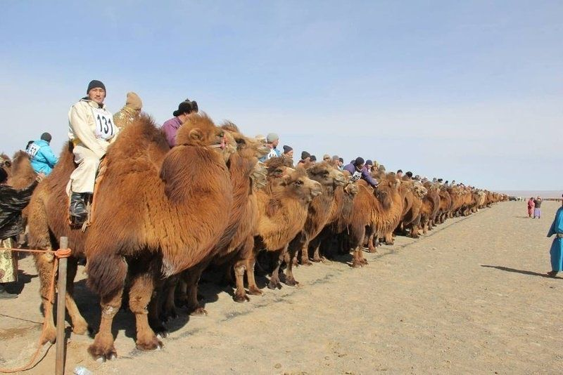 Mongolian desert camel herd in the rankings guinness book of world records...#mongolia #guinness #record