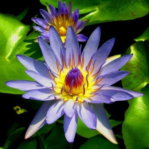 https://flic.kr/p/rEzMB | FLOWER | A close up shot of a Lotus flower.