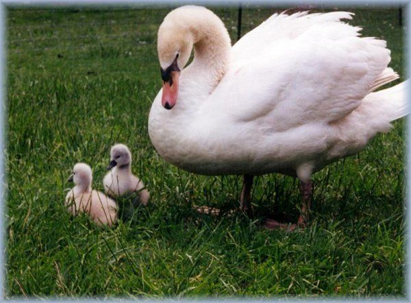 SWANS CYGNETS Collection of SWAN Photographs,Baby Swans-ckground Sets Sygnets Swans