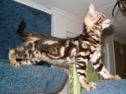 marble bengal kitten...Looks exactly like my Luna and Loki