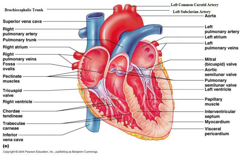 Heart Diagram Anatomy Physiology - ( Simple Electronic Circuits ) •