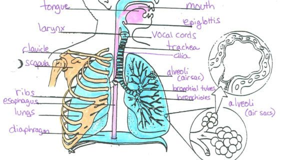 Label The Diagram Of The Respiratory System Below The