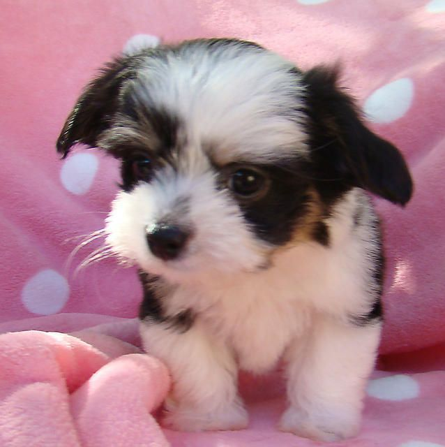 Long Hair Chihuahua For Sale Teacup Chihuahua Long Hair With