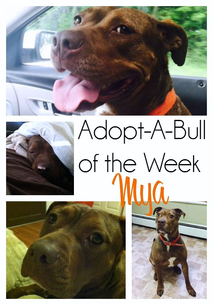 AdoptABull of The Week Mya in Vermont http//www