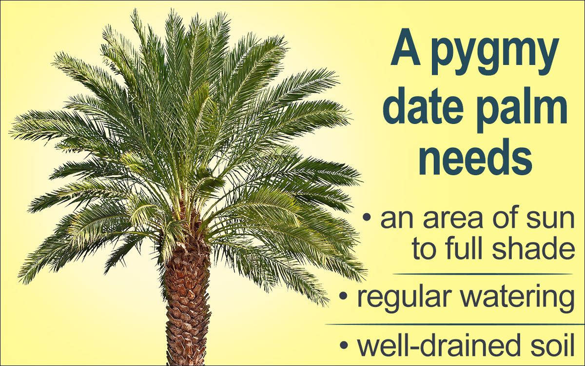 Pygmy date palm care date palm palm tree care date plant