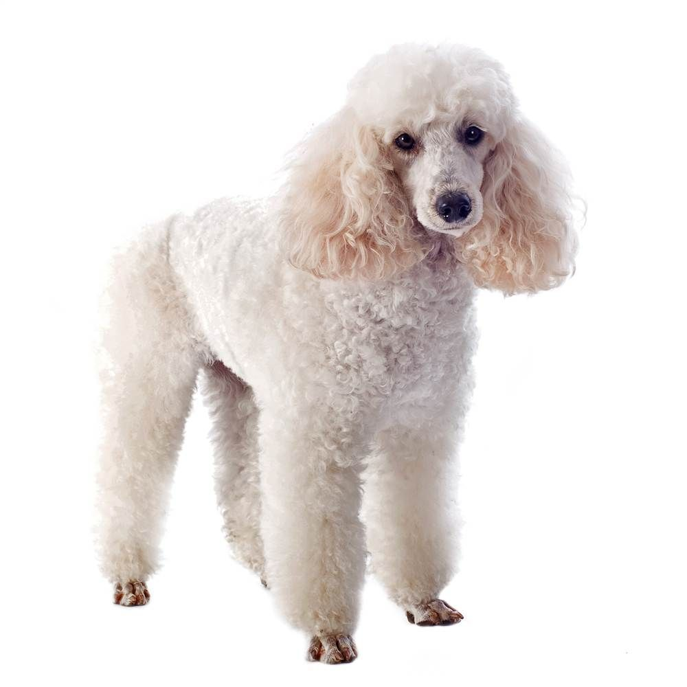 """Poodle: All beauty and no brains? Not Poodles, who are exceptionally smart. Originally kept as water retreivers in Germany, Poodles are often given a """"continental clip,"""