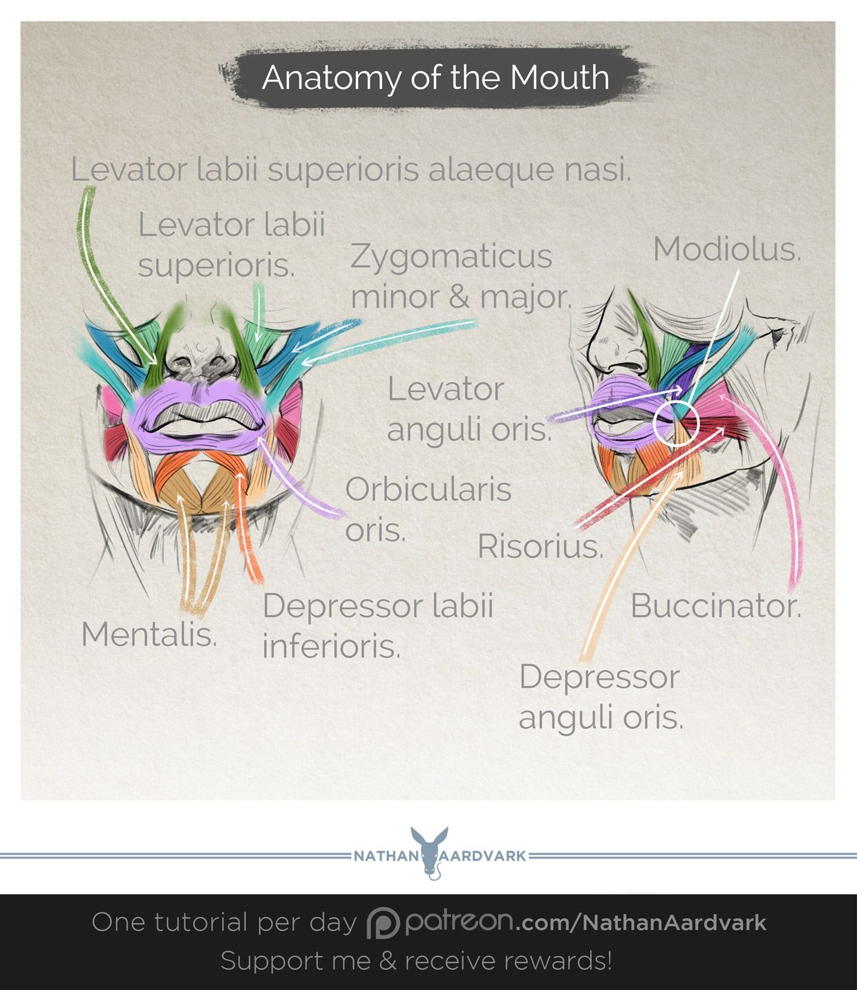 Tutorial 58 Anatomy Of The Mouth Mouth Anatomy Bible Pinterest