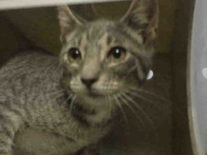 ***TO BE DESTROYED 08/24/16***FANNI IS JUST A BABY AND WILL BE KILLED UNLESS A…