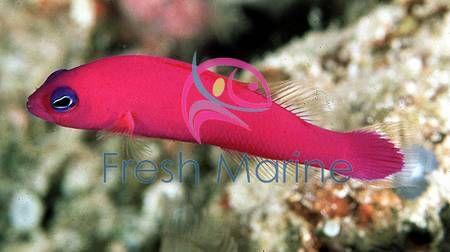 Strawberry Purple Dotty Back Fish Pseudochromis Porphyreus