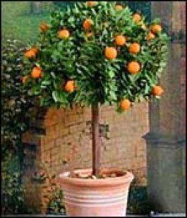 El Naranjo Enano Frutales En Maceta Jardinería En Macetas árboles Frutales Enanos