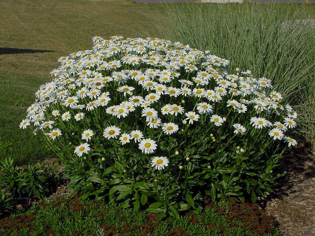 Shasta Daisy Drought Tolerant Sunny Spot Deadhead For Continuous Bloom Front Yard Plants Perennials Lawn And Landscape