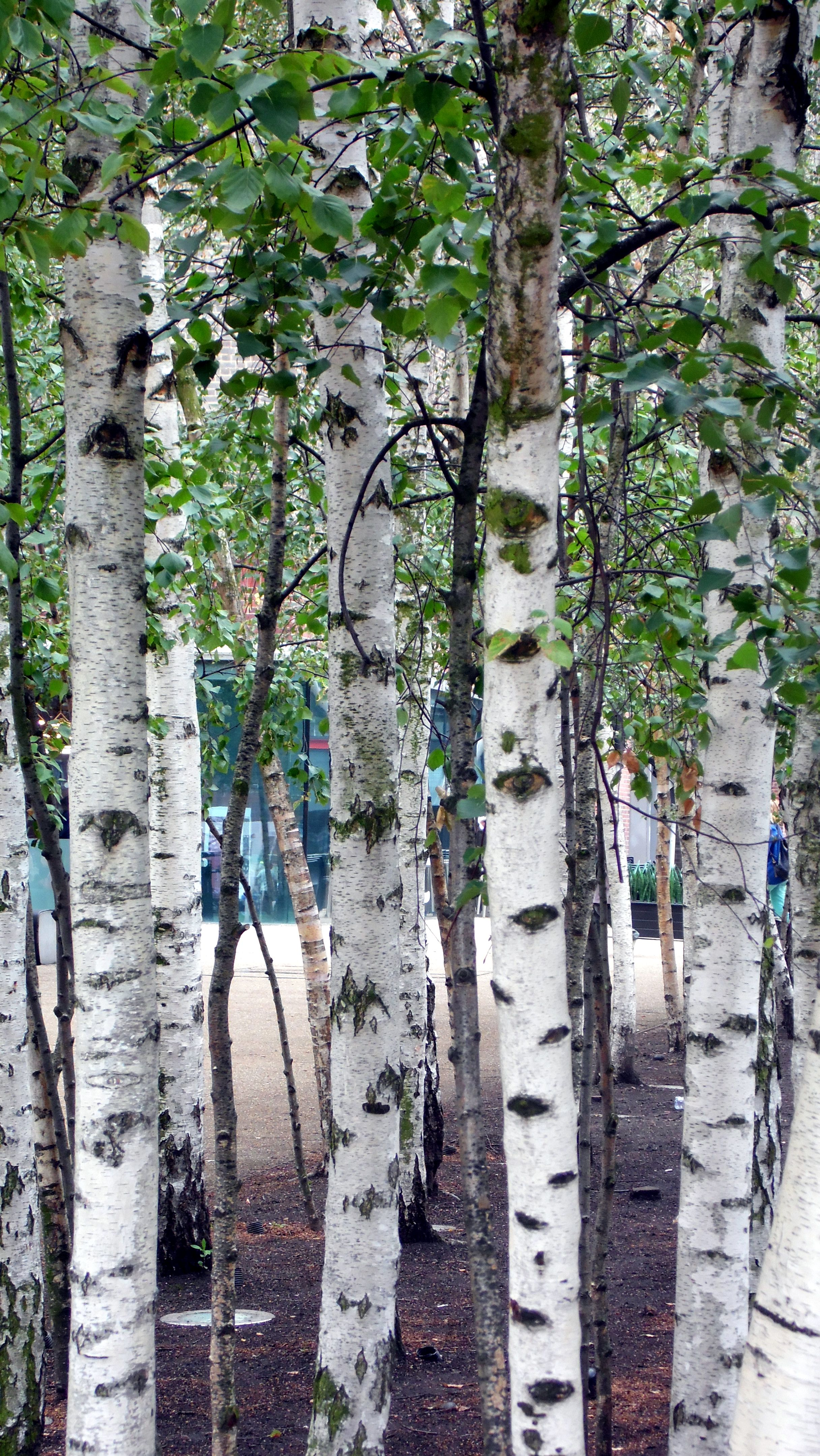 Traci S Travels Stand Of Silver Beech Trees Outside The Tate Modern Gallery London August 2017 They Remind Me Cottonwood In Alaska