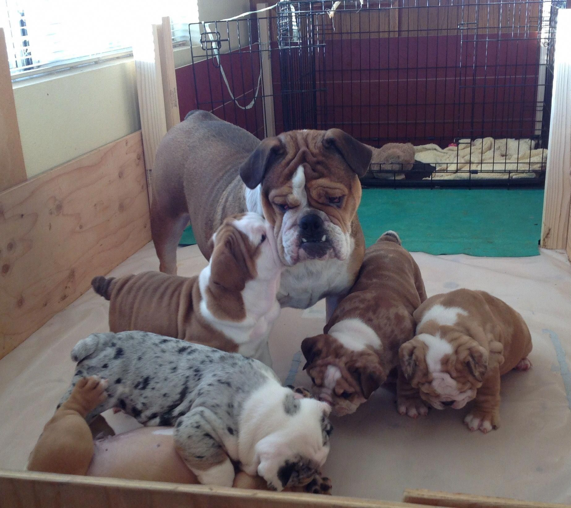 Things I Respect About The Dignified Bulldog Puppy Bulldogs
