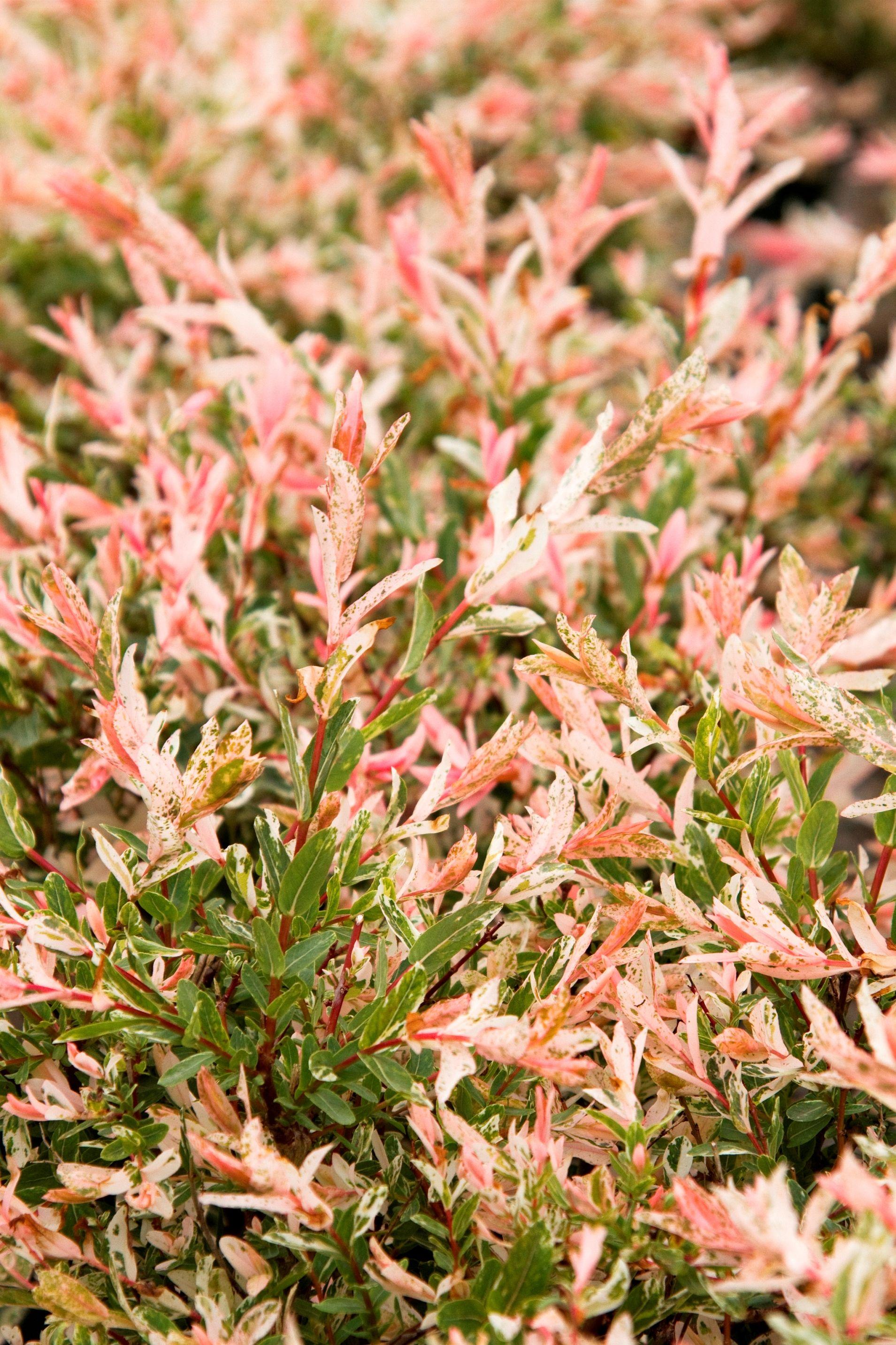 Dappled Willow | garden plants | Dappled willow, Garden ...