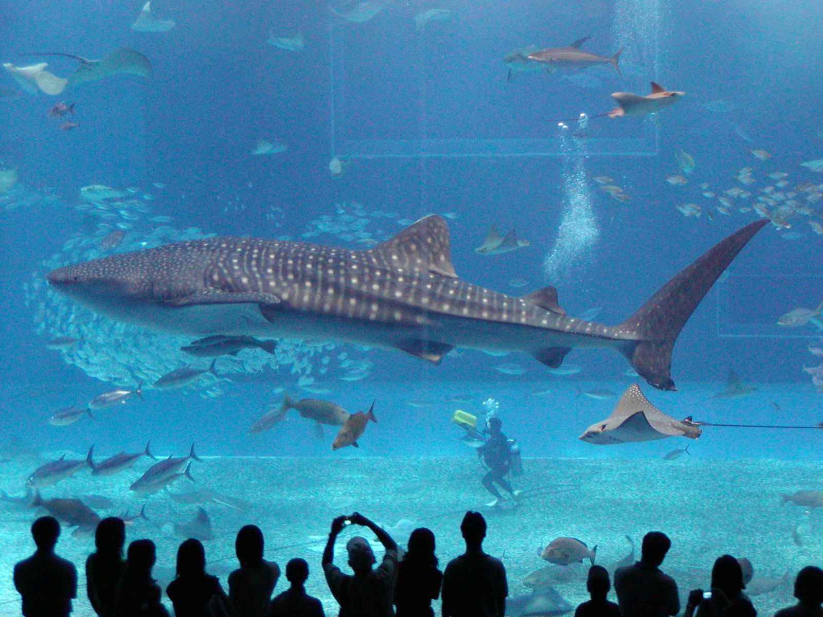 Wanted Whale Shark In Person