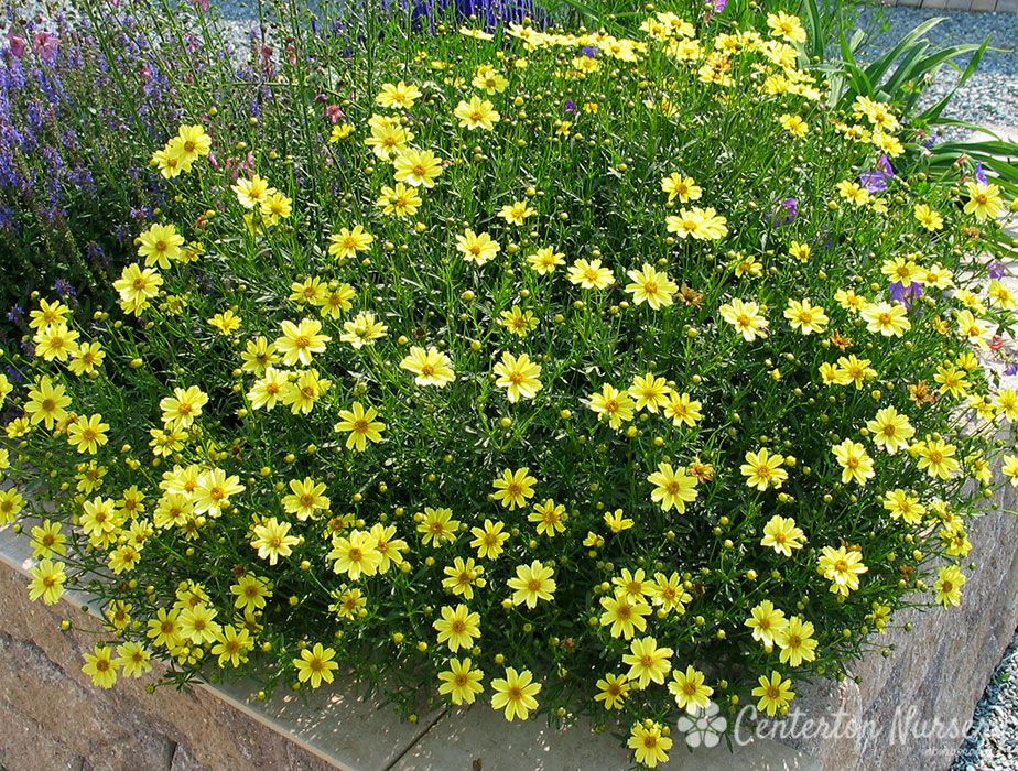 Threadleaf Coreopsis Does Well In Clay Soil Full Sun Front Yard