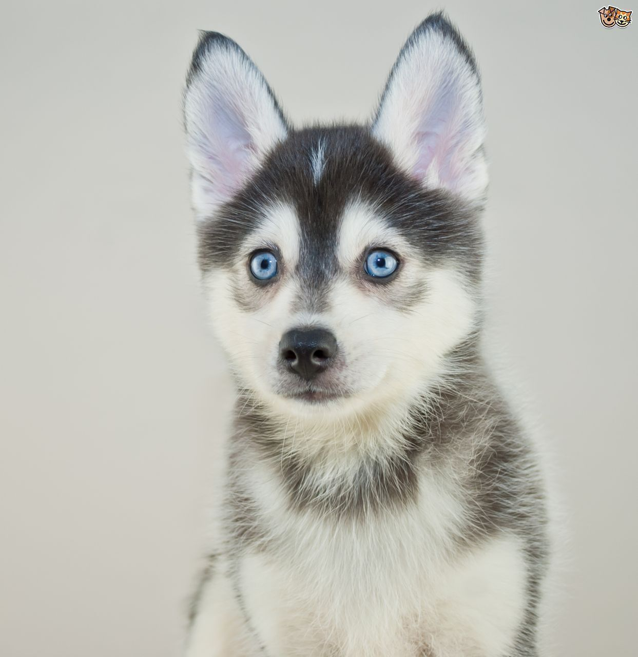 Pomsky Dog Breed Information Facts Photos Care Pets4homes