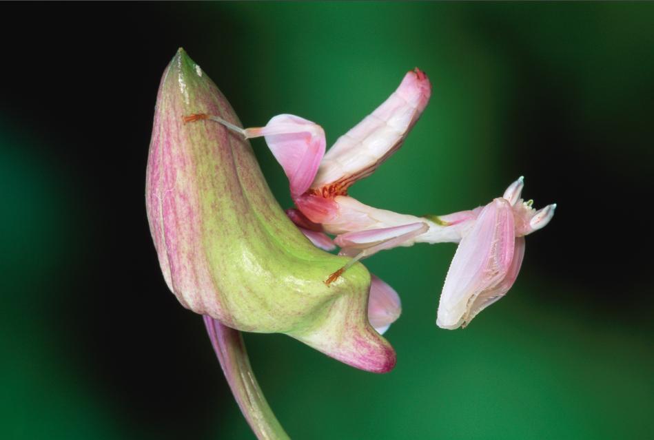 Praying Mantis Mimics Flower To Trick Prey Orchid Mantis Orchid Images Rare Flowers