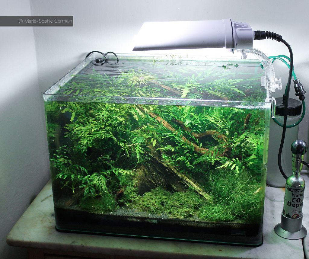 Bolbitis Babaulti Dennerle Scaper S Tank Tropical Fish Aquarium Aquascape Biotope Aquarium