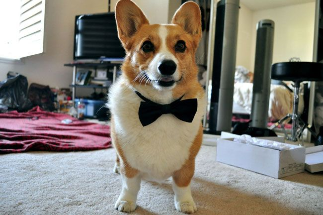 Corgi Friday Gets Dressed Up Corgi Bust A Move Cute Puppies
