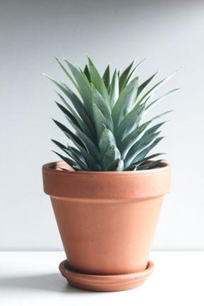 Hacer una planta con una piña