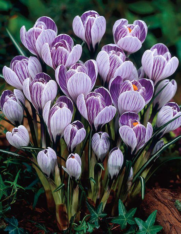Kevätsahrami Pickwick - Viherpeukalot Oy - Puutarhamyymälä netissä