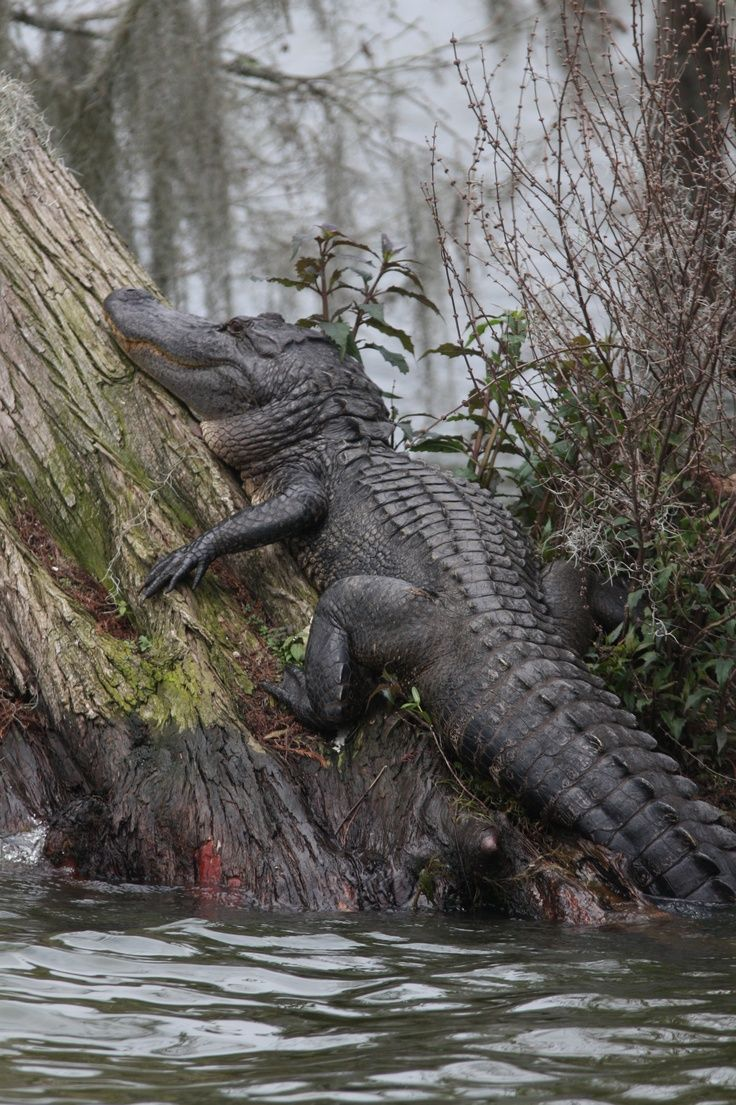 Alligator climbed onto the balcony of the second floor of a residential building 87