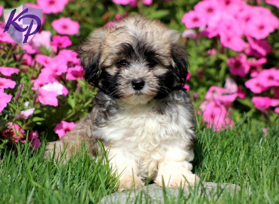 Puppy Finder Find Buy A Dog Today By Using Our Petfinder Puppy Finder Buy A Dog Best Small Dogs