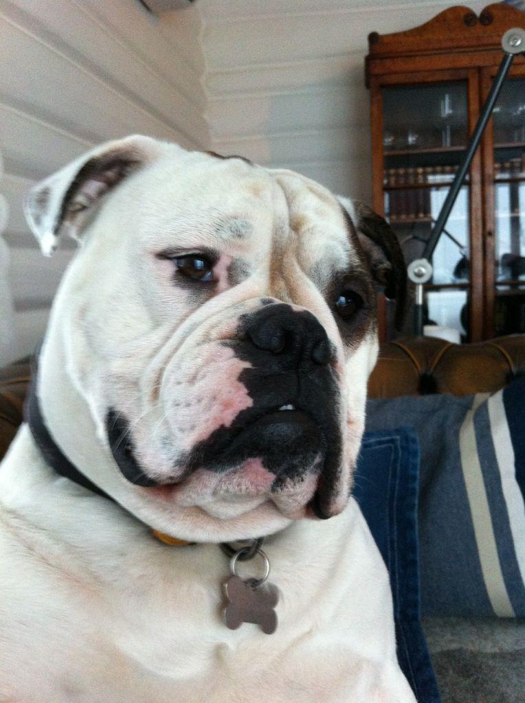 Jack My Old English Bulldog Old English Bulldog Olde