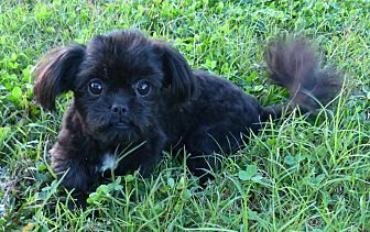 Anderson, SC - Shih Tzu  Meet Puffin a Dog for Adoption