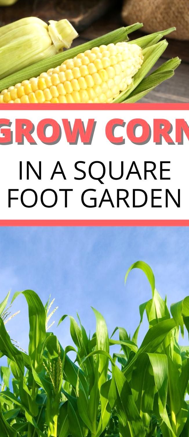 How to grow corn in a square foot garden Even if you have ...