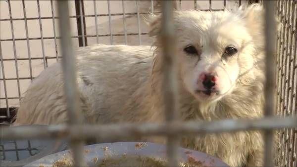 Estas imágenes podrían afectar la sensibilidad del espectador. Igualdad Animal produjo un informe en video en el que se muestra la crueldad de la industria china que comercializa pieles de perros y gatos para prendas de vestir, bolsos y juguetes.