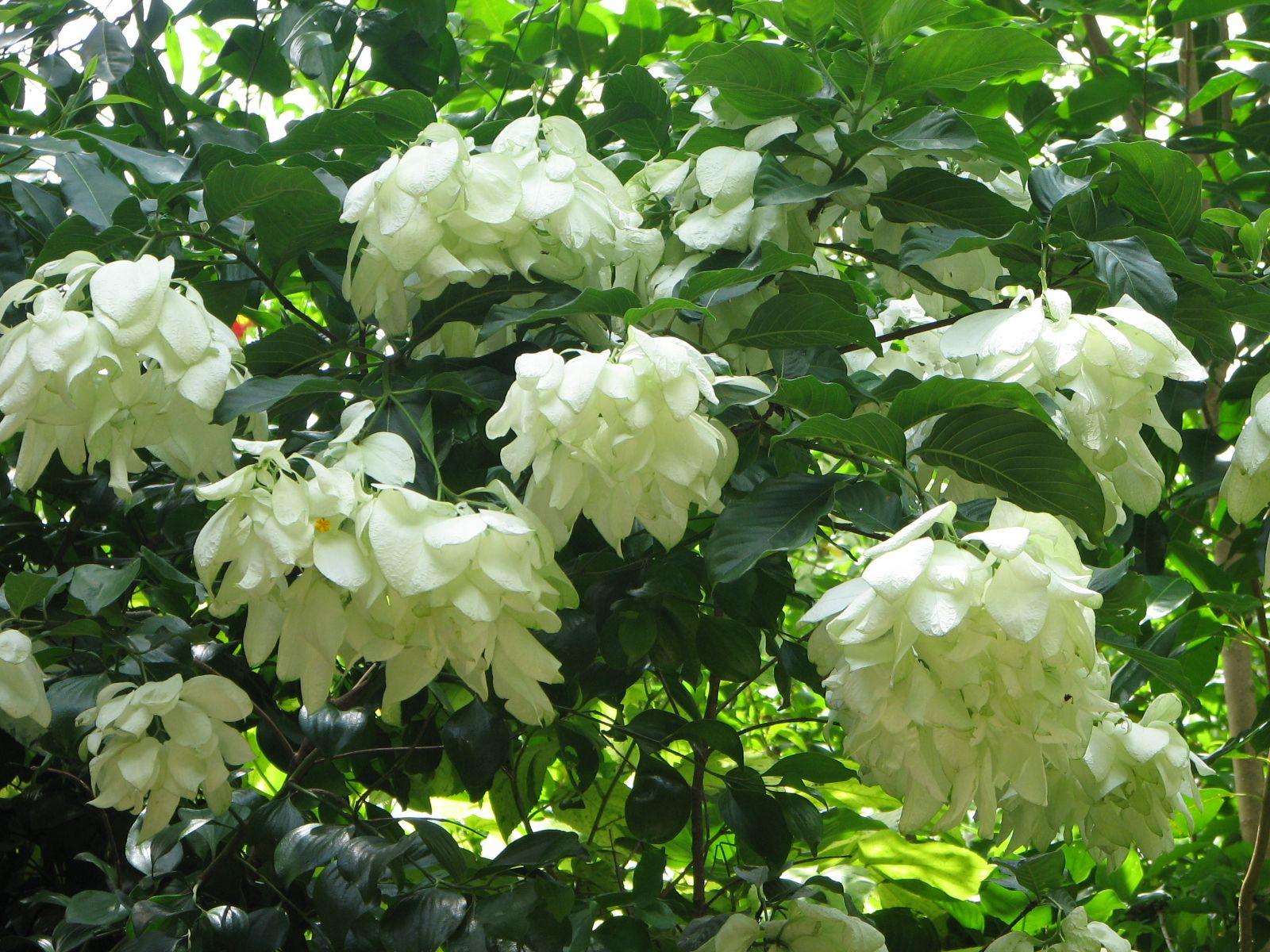 white mussaenda bangkok rose rainforest gardens