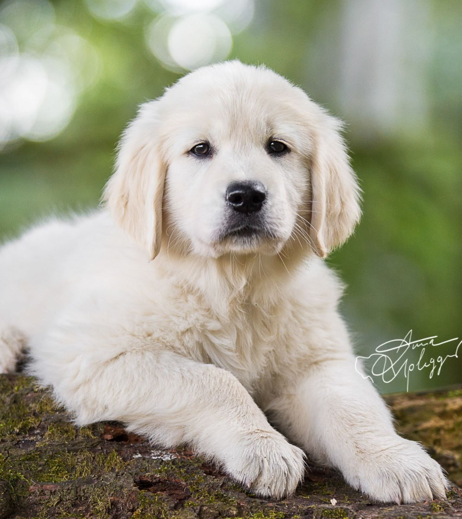 English Creme Golden Retriever Puppy Dog English Golden