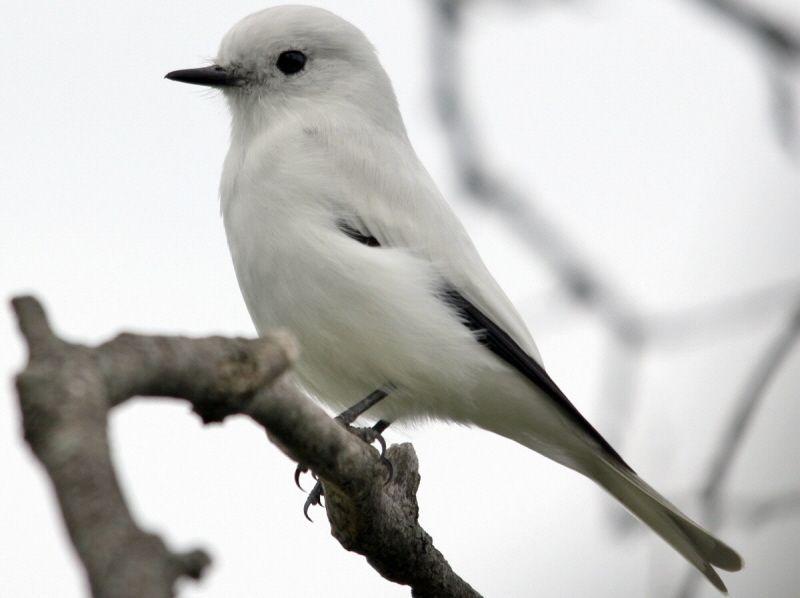White Monjita (xolmis irupero)