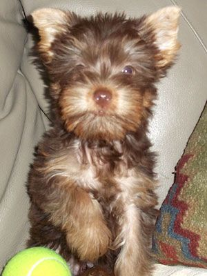 A Chocolate Yorkie Looks Just Like Mine When He Was A Puppy Yorkie Puppy Yorkie Cool Pets