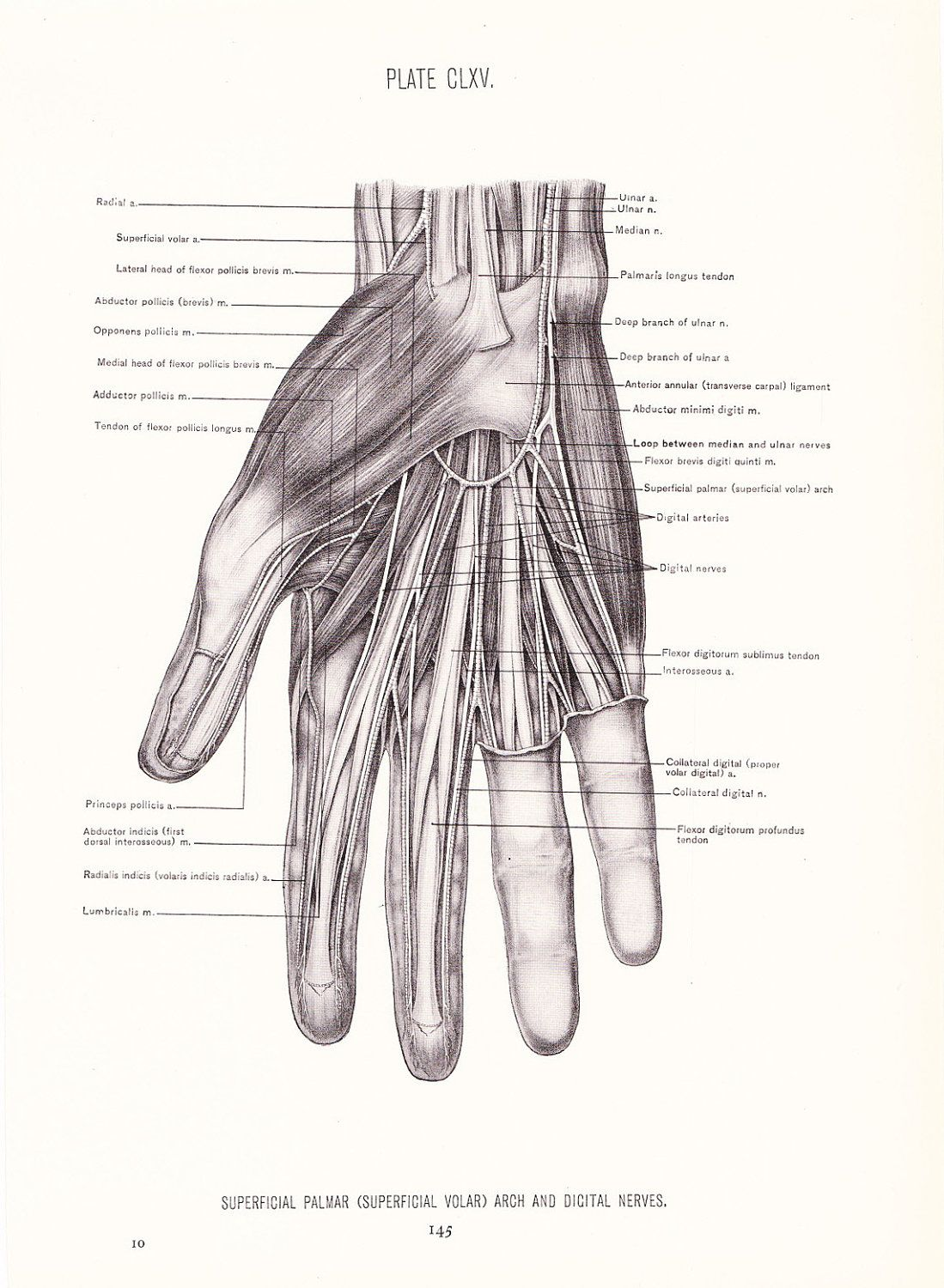 1926 Human Anatomy Print Nerves Of Hand Vintage Antique Medical