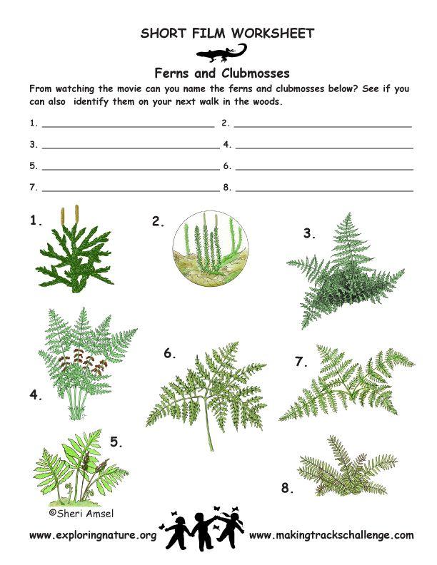 fern identification outdoor worksheets printables vascular plant trees to plant plants. Black Bedroom Furniture Sets. Home Design Ideas