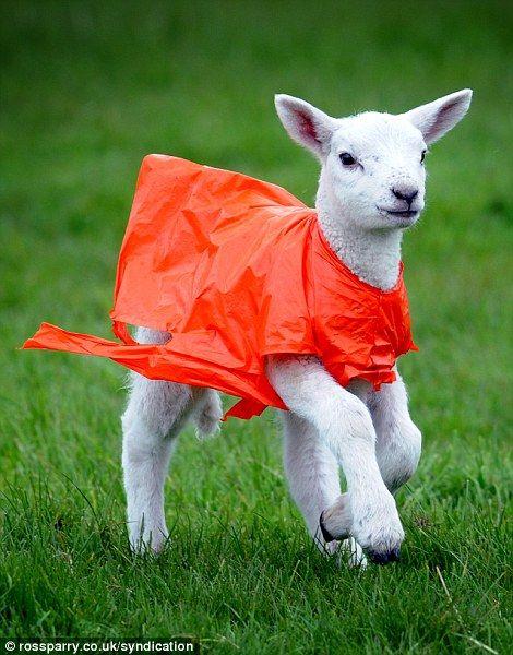 Lamb In Yorkshire England Wales England Animals Rain Gear