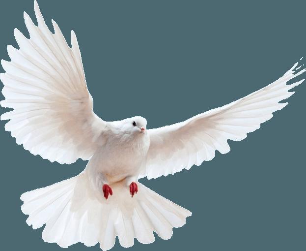 White Dove Transparent Background Bird Free Png Images Transparent Background White Doves Background