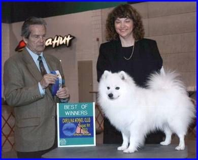 The American Eskimo Is One Of The Spitz Families Of Nordic Breeds It Is Closely Related To The White German S American Eskimo Dog American Eskimo German Spitz