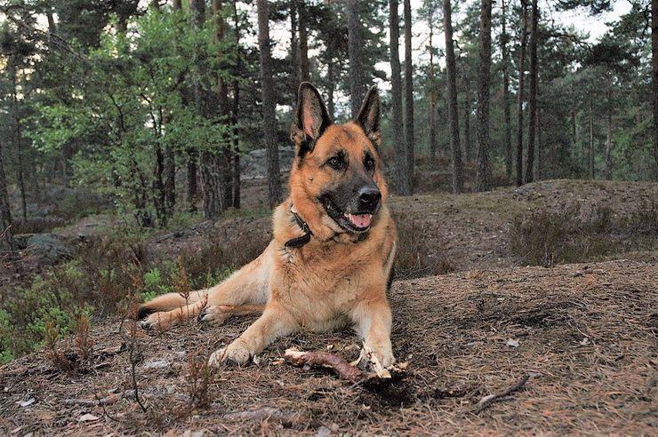 How Would German Shepherd Fair Against Wolf Germanshepherd