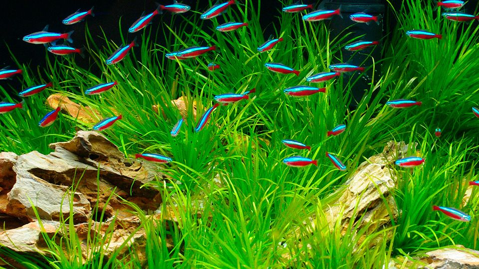 19 Most Popular Freshwater Fish For Your Aquarium In 2020 Neon Tetra Neon Tetra Fish Freshwater Fish